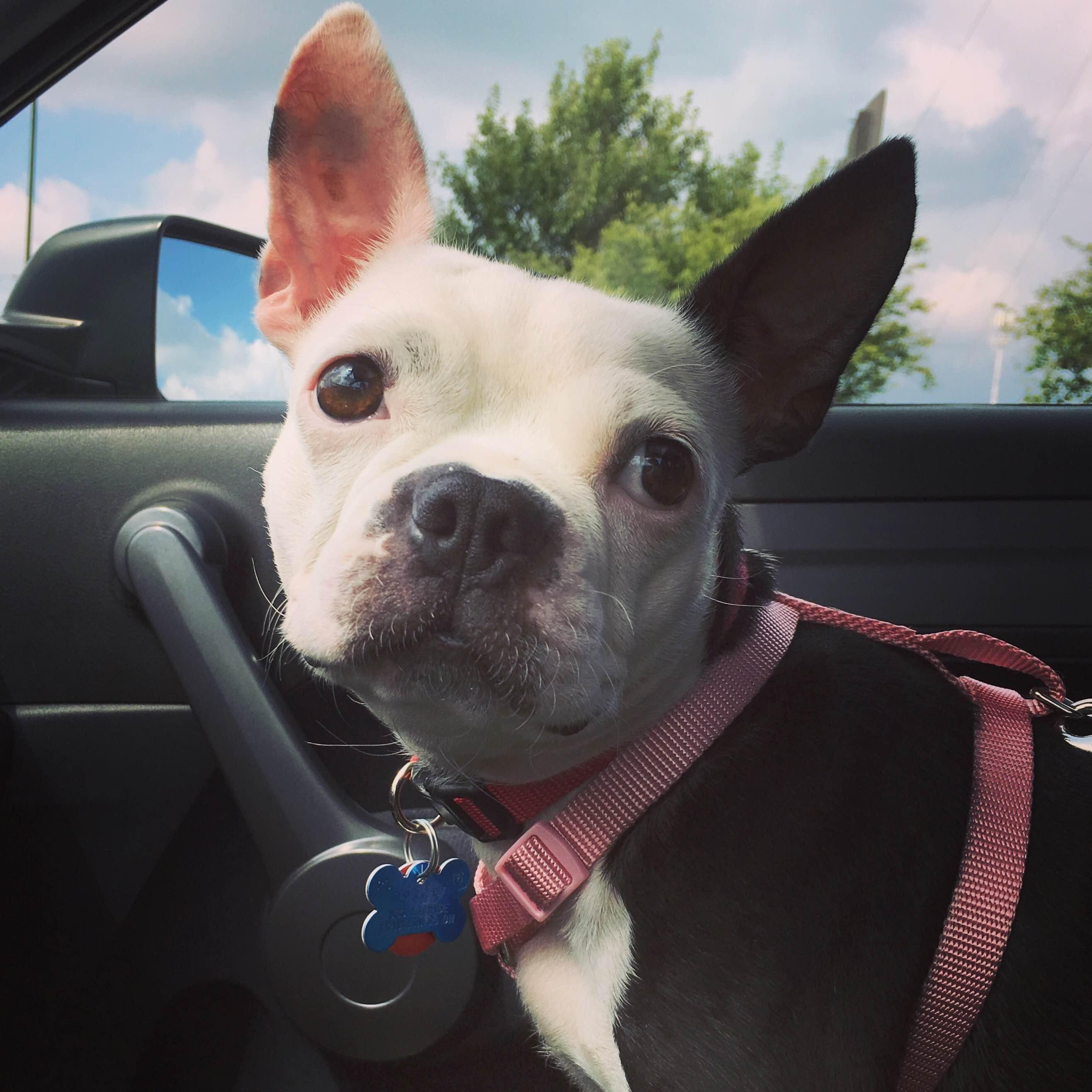 "Adopt Mary ""Sweetheart"" PENDING on Boston terrier"