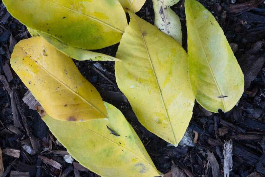 Zz Plant Leaves Turning Yellow