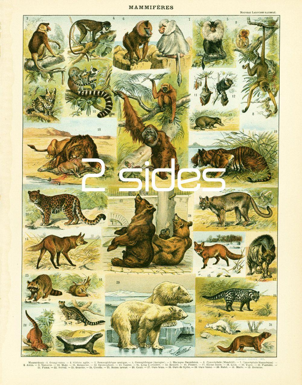 1897 Wild animals, antique french illustration original Larousse ...