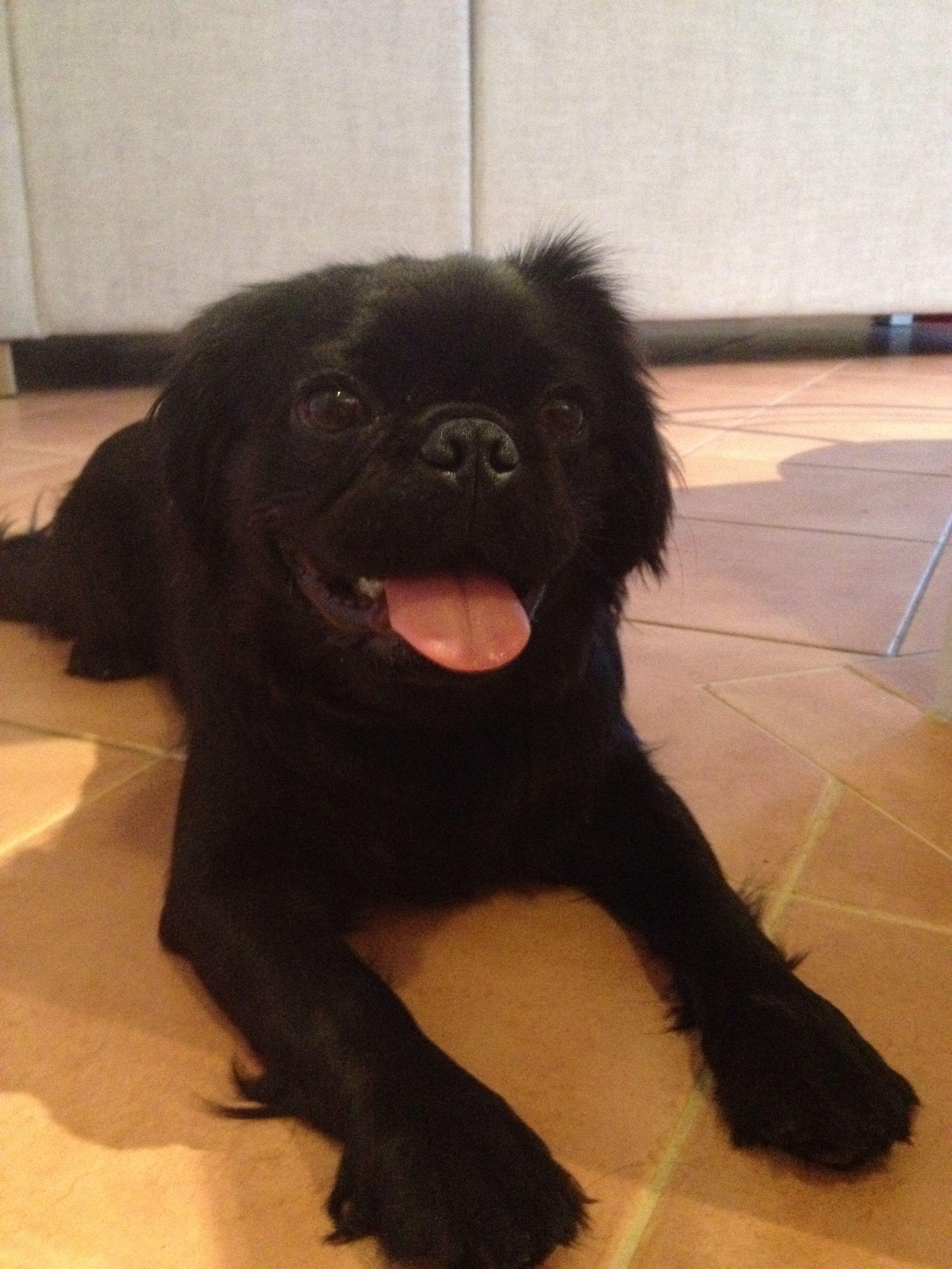 A Black Pugalier 3 Pugalier Doggy