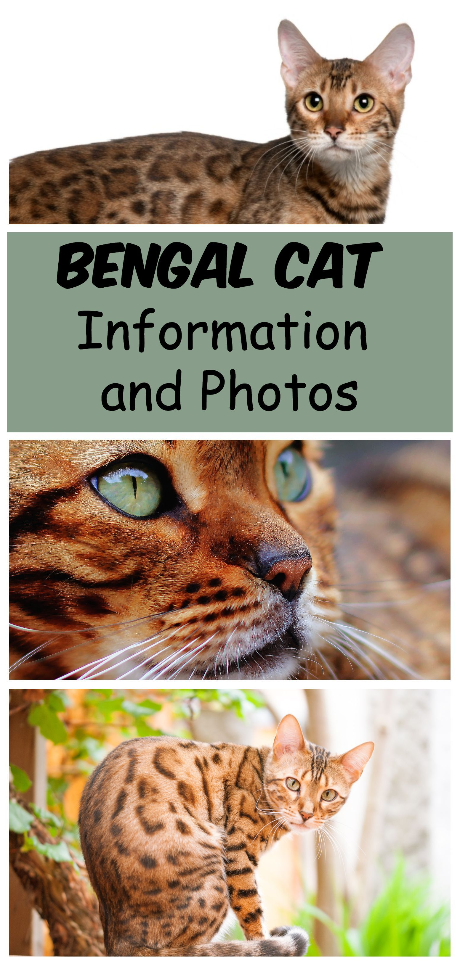 Bengal Breed Information and Photos Bengal cat, Hybrid