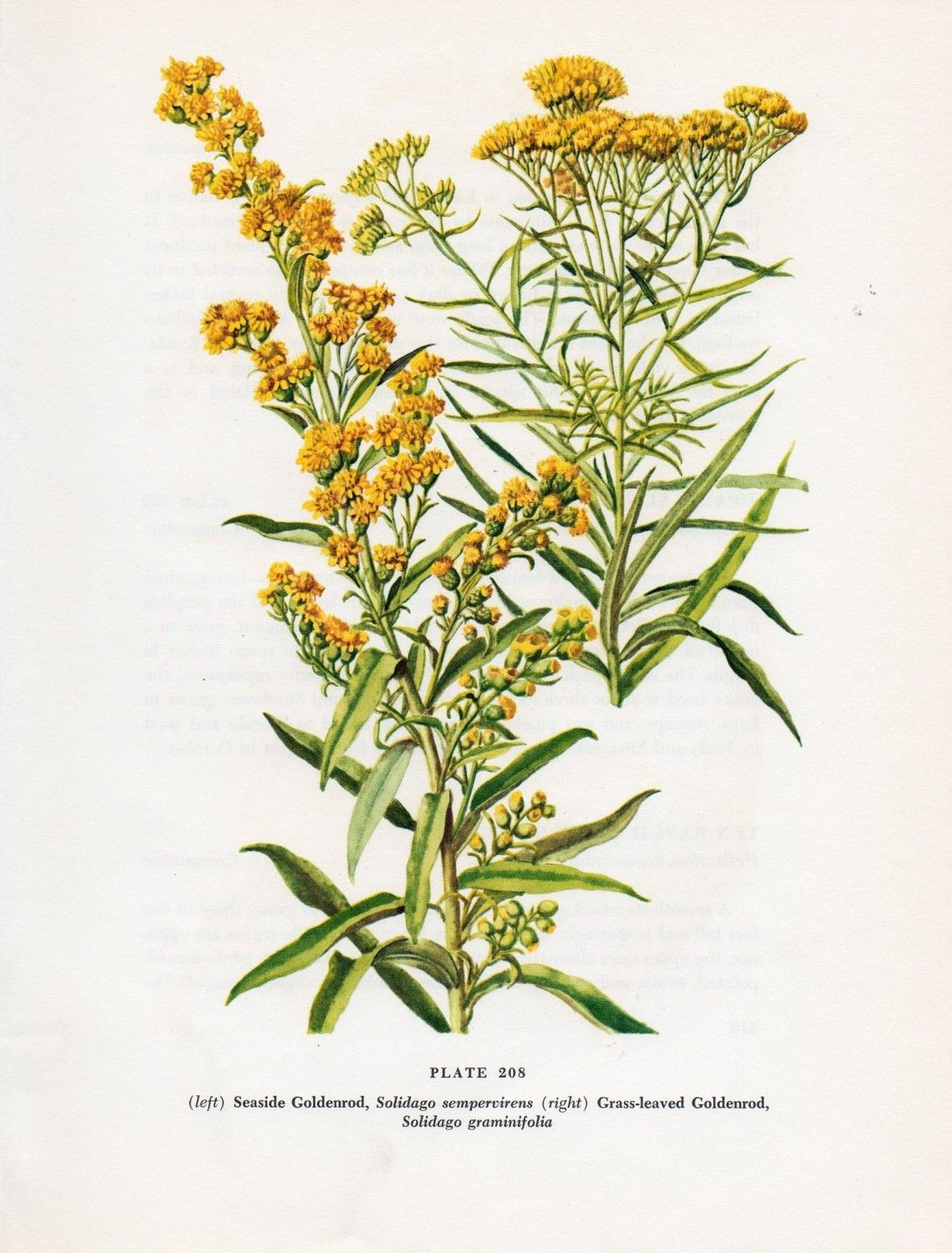 Vintage Botanical Wildflower Print Seaside Goldenrod Plate Etsy Goldenrod Flower Vintage Botanical Botanical Prints