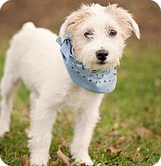 Adopt A Pet Buffy W Video Portsmouth Ri Jack Russell
