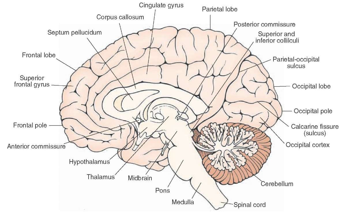 Midsagittal view of the brain. Visible are the structures situated ...