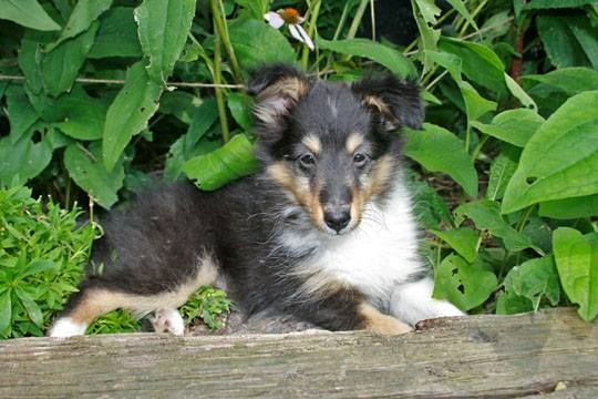 Foster Farms Shelties - Google Search