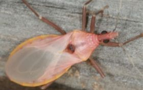 A Chagas Disease Epidemic Is Not Likely In North America But