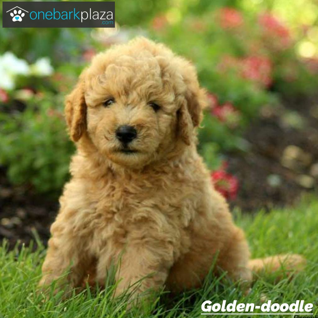Meet Annie! Our adorable Goldendoodle puppy. She is a