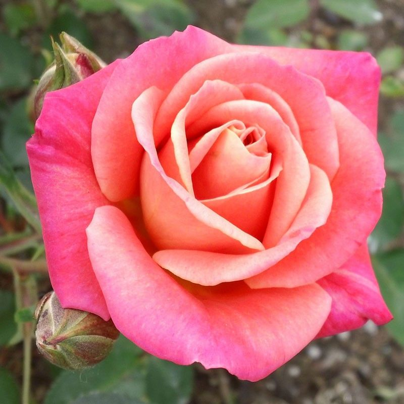 Old Country Charm Mini rose