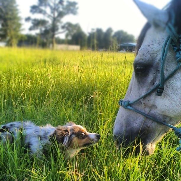 My Mini Aussie And Horse I Will Have Both Of These Things One Day