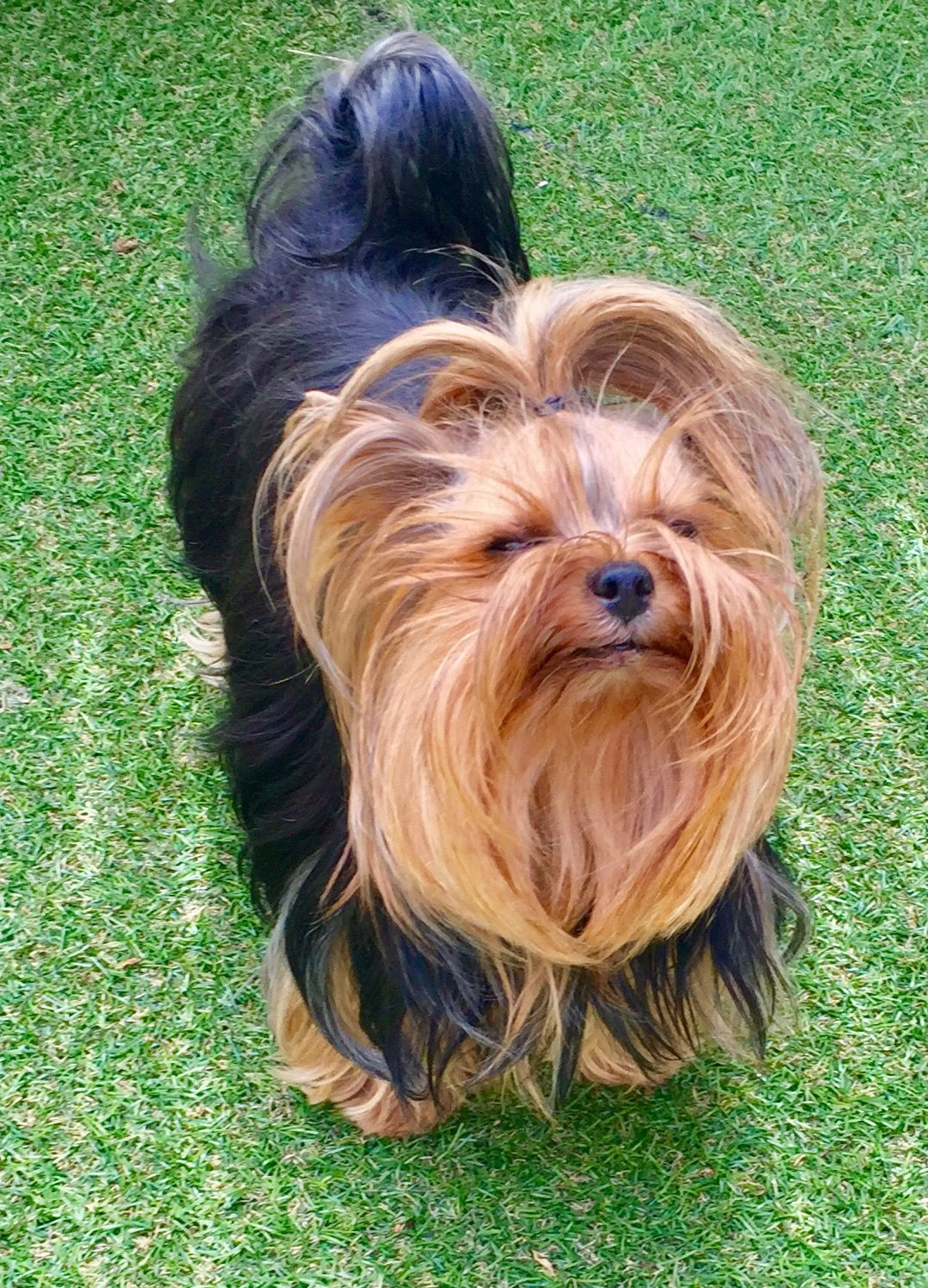 Yorkshire Terrier Energetic And Affectionate Yorkshire Terrier Terrier Yorkie