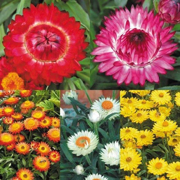 Die Strohblume Tipps Zur Richtigen Pflege Und Trocknung Bienenfreundliche Pflanzen Blumen Pflanzen