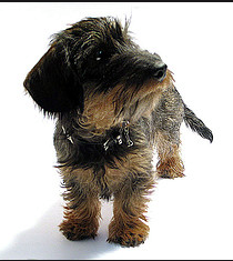 This is the cutest little dog, he is a black and tan wire ...
