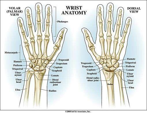 Wrist Anatomy Anatomy Pinterest Anatomy Medical And Medical