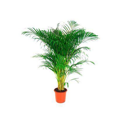 Areka Areca Lutescens Kupuj W Obi Plants Planter Pots Planters