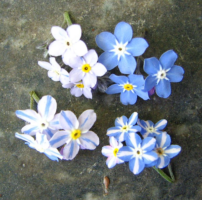 Forget-me-not blossoms showing Mendel's Principles of Heredity. photo by S. Metzing-Blau