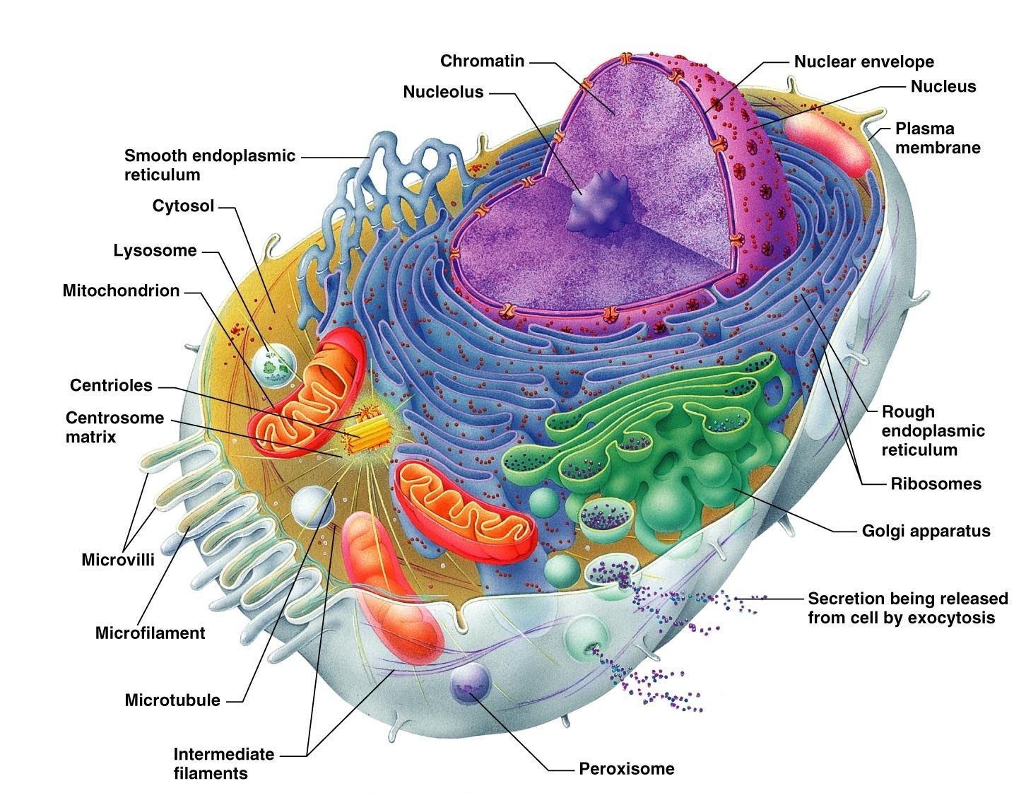 small resolution of google image result for http www onlinehumananatomycourse net wp