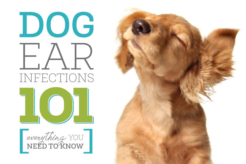 Ear Infections Spoiling Fido S Fun Dogs Ears Infection Dog Ear