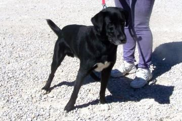 Petango.com – Meet Ken, a 3 years 1 month Retriever, Labrador / Mix available for adoption in PAOLI, IN