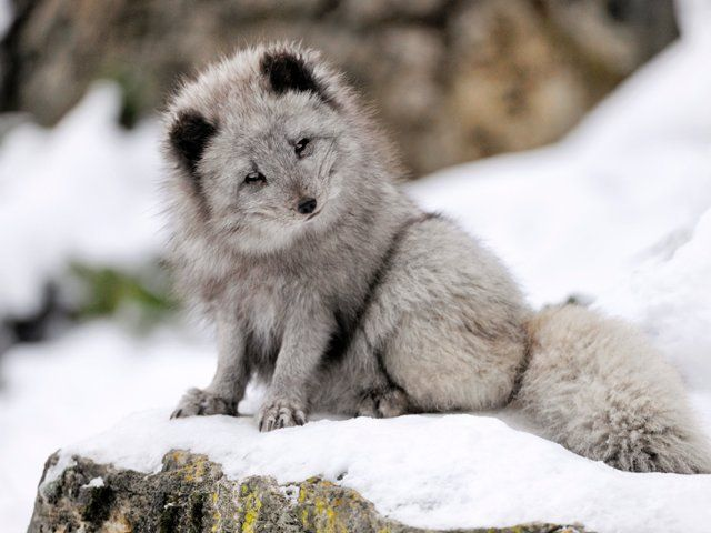 Arctic fox baden wuerttemberg germany webshots dogs - Free funny animal screensavers ...