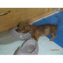 Dachshund Puppy For Sale In California Dachshund Puppies For