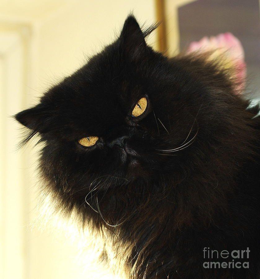 Black persian cat pics