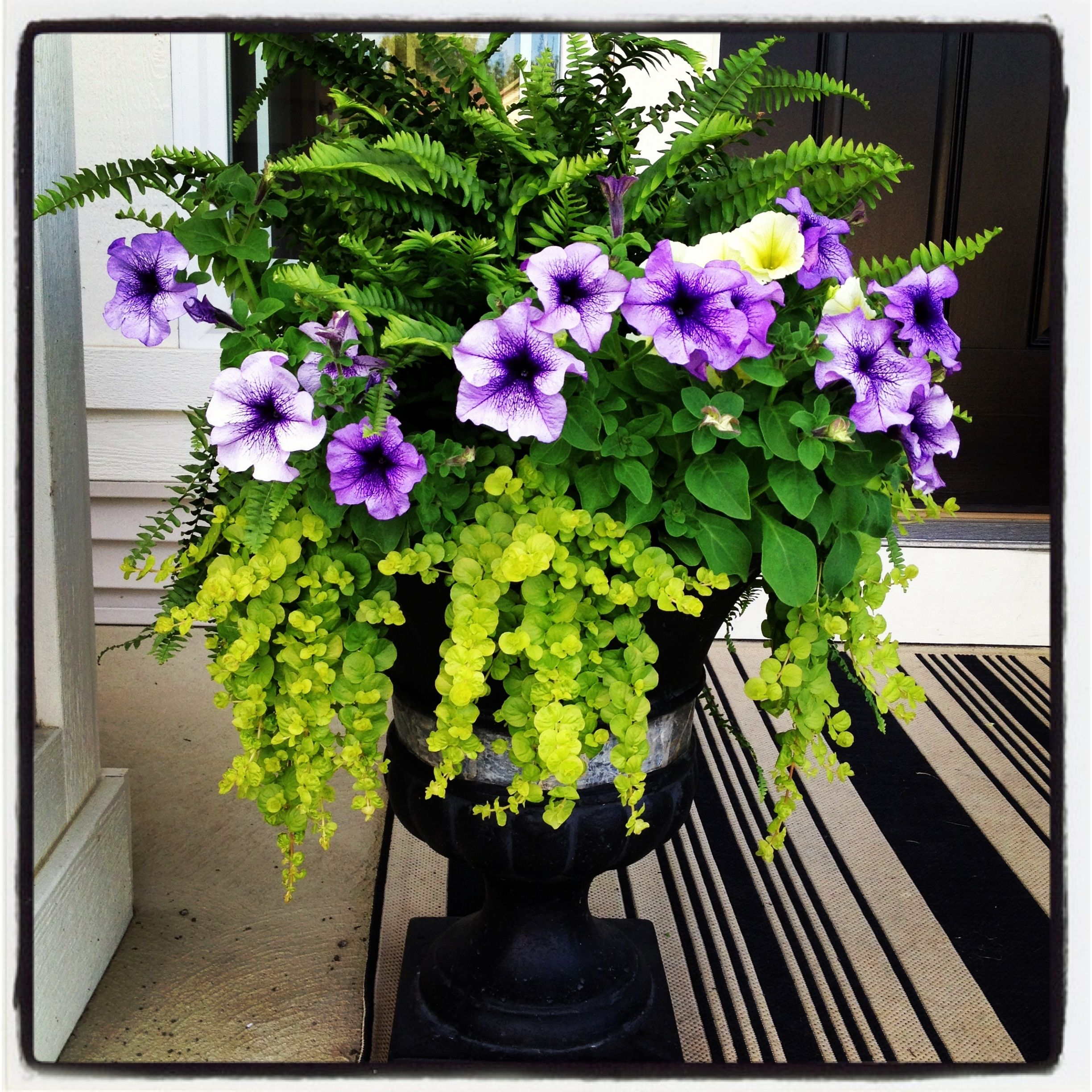Fern And Petunia Planter June