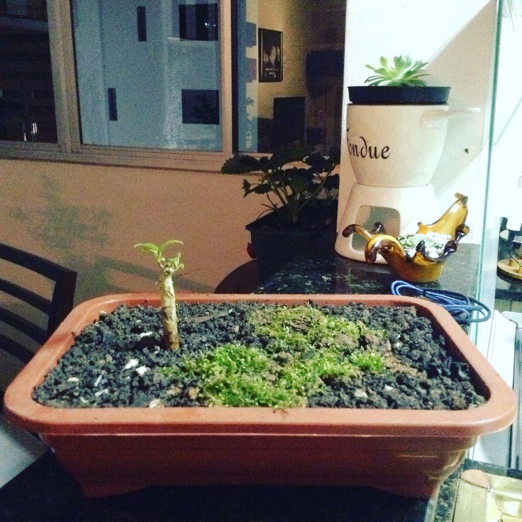 Minha primeira bonsai. Figueira.