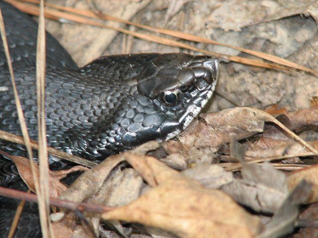 Hognose Snake Hognose Snake Snake Poisonous Snakes