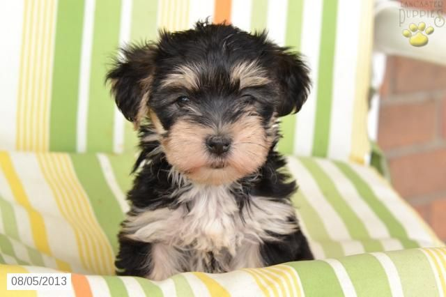 Ashley Morkie Puppy For Sale In Millersburg Oh Morkie Puppy For Sale I Want One Puppies For Sale Morkie Puppies For Sale Morkie Puppies