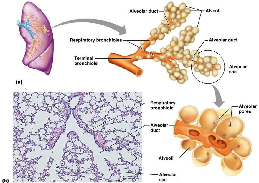 the respiratory system | biologia | pinterest | respiratory system, Human Body