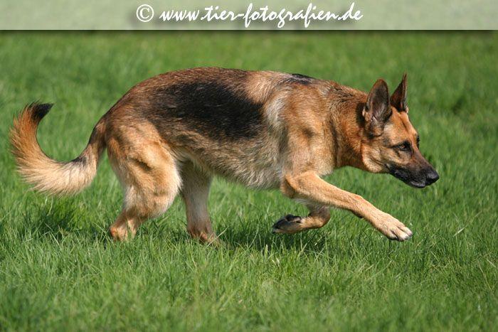 German Shepherd dog beautiful Besca, my very best