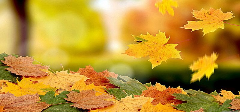 Maple Autumn Leaves Fall Background Plant Wallpaper Autumn