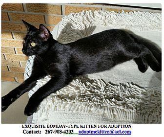 Philadelphia, PA - Bombay. Meet JAMES a Bombay Type Kitten, a kitten for adoption. http://www.adoptapet.com/pet/14390825-philadelphia-pennsylvania-kitten