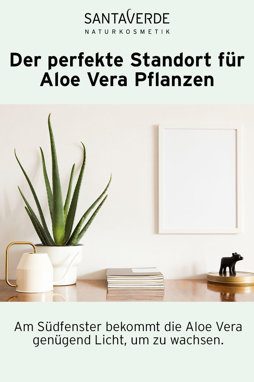 Der Perfekte Standort Fur Aloe Vera Im Haus Perfekte Standort Anbaugartenhaus 2020