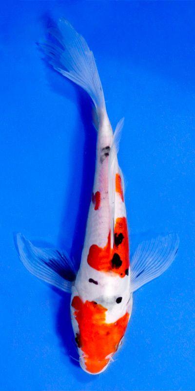 Koi amazing waterworld pinterest karpfen for Japanischer kampffisch