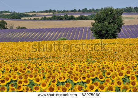 stock photo : Sunflower and Lavender field in Provence