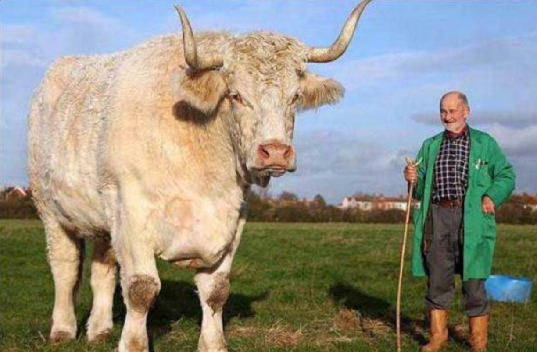 Field Marshall the bull