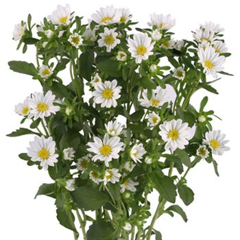 Aster Flowers White Amazon Flowers White Flowers Birth Month Flowers