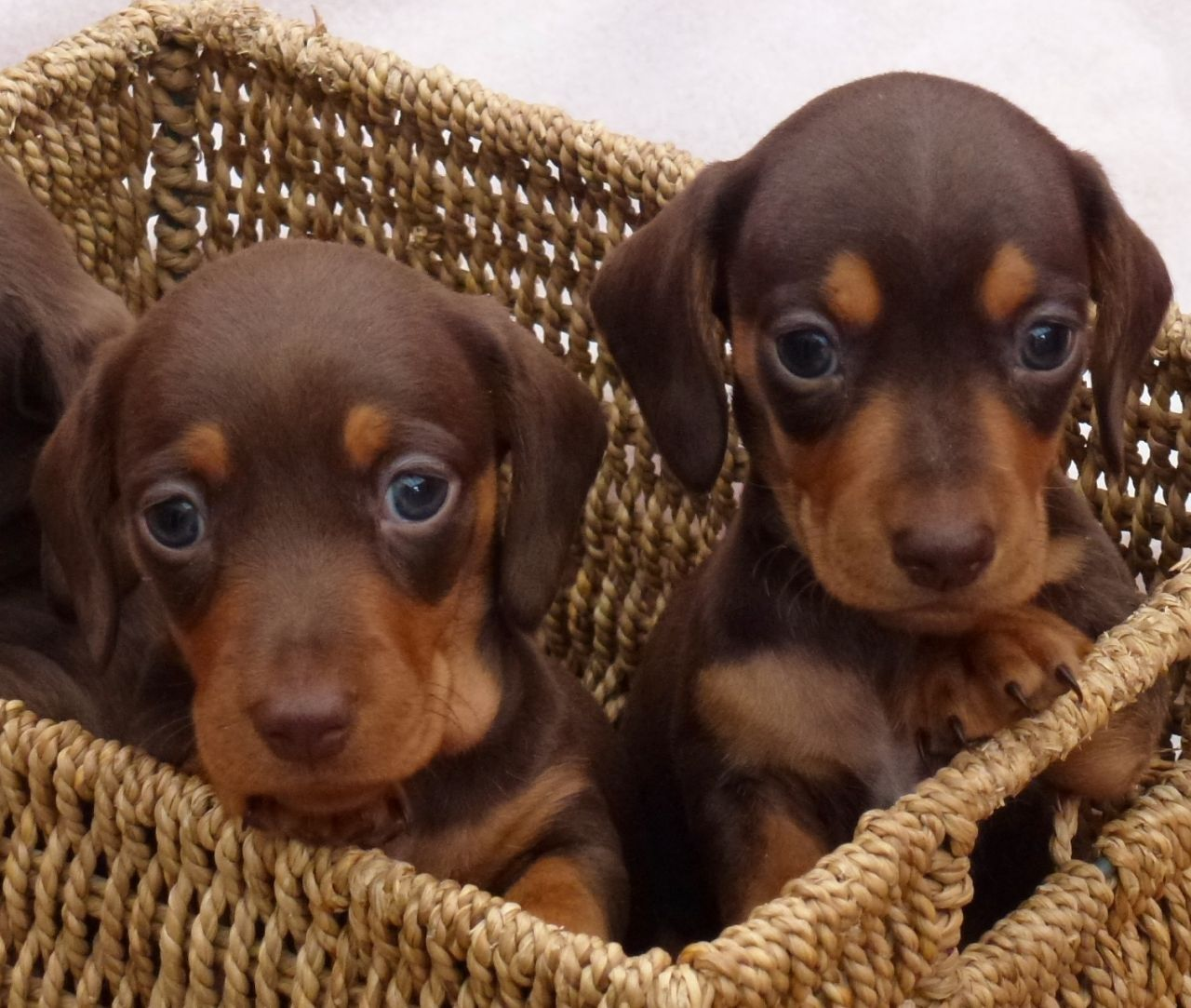 Chocolate And Tan Doxie Puppies Dackelwelpen Hunderassen