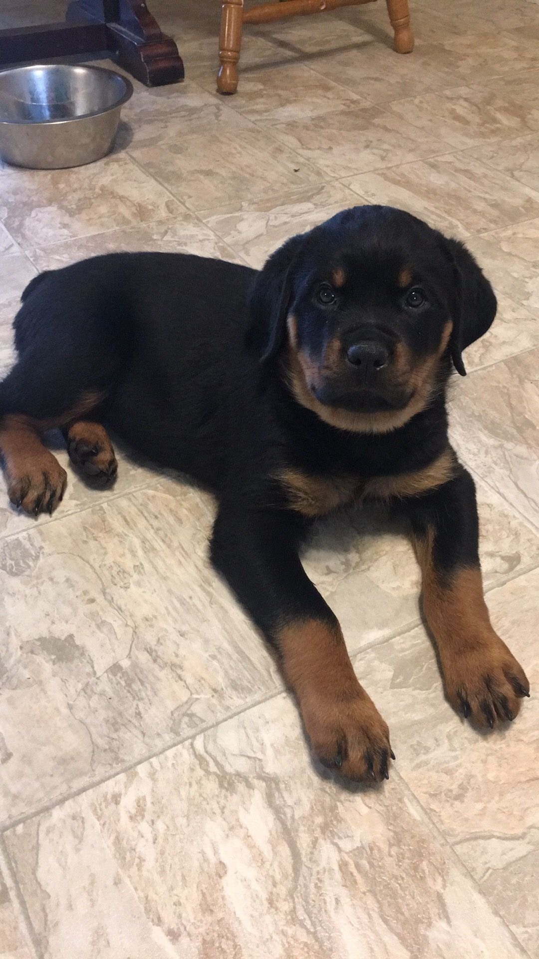 My Kaiserhaus Rottweiler Puppy Brown City Michigan Rottweiler