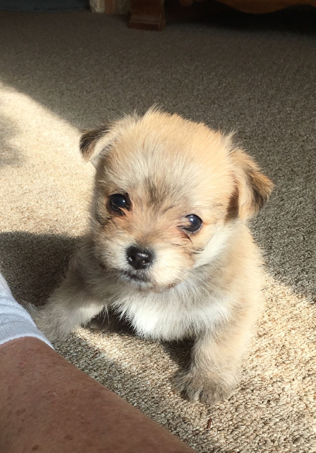 Too Cute Malchi Puppies For Sale Maltese X Chihuahua Mix Click