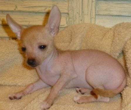 Hairless Chihuahua Tiny Female See Carlita On My Ebay Ad Dogs
