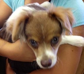 Adopt Colby On Petfinder Papillon Dog Adoption Cute Dogs