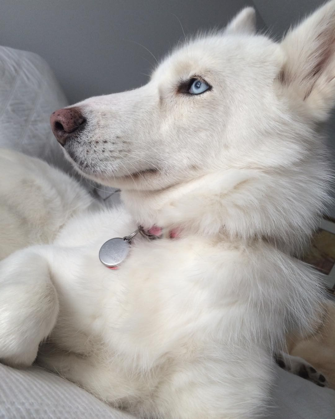 Brought To You By Smart E White Husky Puppy White Siberian