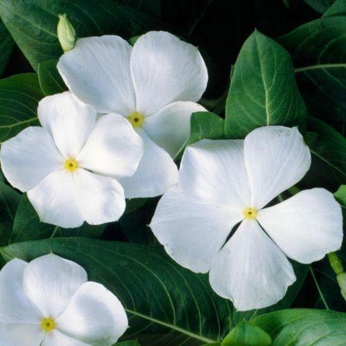 Die Schonsten Weissen Blumen Fur Ihren Garten Weisse Blumen Blumengarten Design Einjahrige Pflanzen