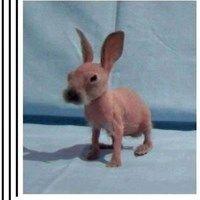 mythbuster rabbit!  fetch the mini-beret!