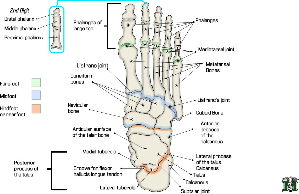 foot anatomy | foot-anatomy.jpg | Documentation for Reflexology ...