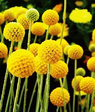Craspedia Golf Beauty Drumstick Flower Round Golden Flower Heads Are Breathtaking In A Vase Billy Buttons Craspedia Plants