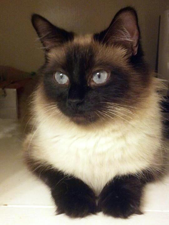 Meet Asha A Petfinder Adoptable Ragdoll Cat Longview Tx Asha