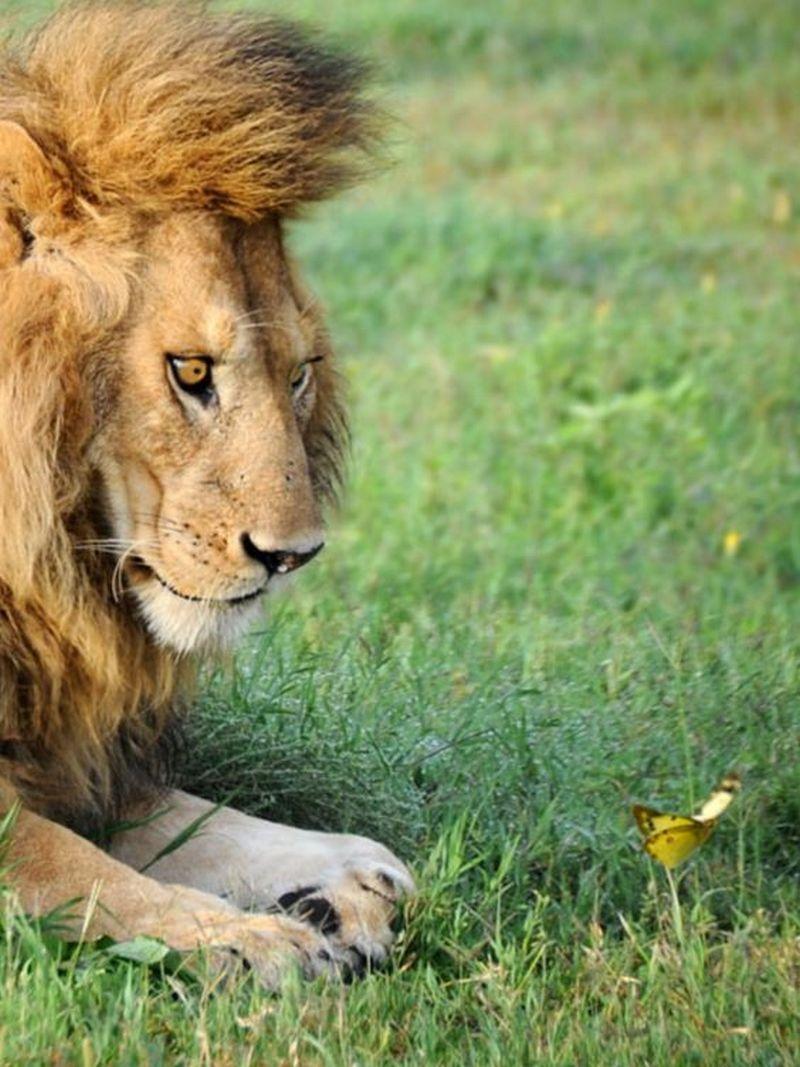 смешные картинки про львов многолетней